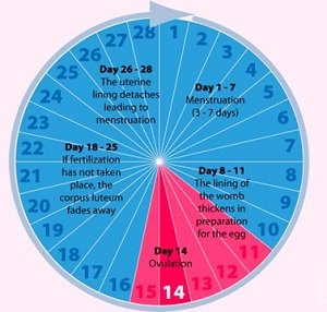 Illustration of On What Day Is Ovulation Or Fertility After Menstruation?