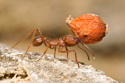 Illustration of Can I Consume Ant Nest When Menstruating?