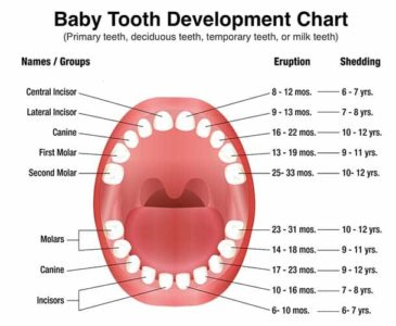 Illustration of Canine Teeth Are Still Milk Teeth At The Age Of 18 Years?