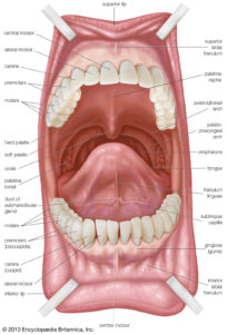 Illustration of The Palate Of The Mouth Feels Torn