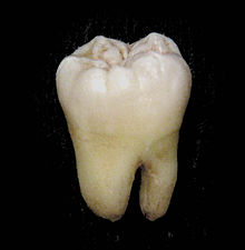 Illustration of Tooth