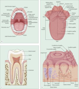 Illustration of Viscous Blood From The Gums On Cavities