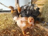 Is The Corona Virus Can Be Transmitted Through Chicken Feathers Bought From China