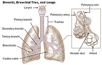 Illustration of Lung?