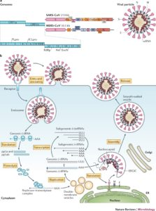 Illustration of Are SARS And MERS Caused By The Same Virus?