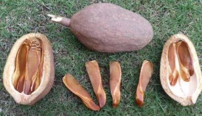Illustration of Can You Eat Mahogany Seeds For Women ??