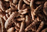 Is The Dried Root Which Is Safe For Consumption?