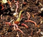 Is It True That Traditional Earthworm Medicines Can Reduce Heat?
