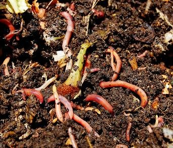 Illustration of Is It True That Traditional Earthworm Medicines Can Reduce Heat?