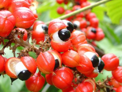 Illustration of Safety Of Consuming Guarana (Paullinia Cupana) As A Supplement?
