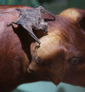 Illustration of Is It True That The Heart And Bat Blood Can Make Asthma Medicine?