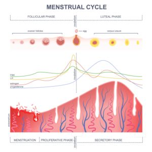 Illustration of Is After 5 Days Ovulation Can Women Menstruate Again?