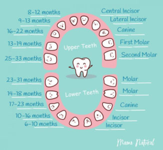 Illustration of Is It Natural For Baby Teeth To Grow First Is Canine Teeth?