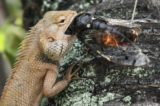 Can Foods That Have Been Affected By Lizards Be Consumed Again?