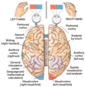 Illustration of Is The Left Ear Connected To The Right Brain And Vice Versa?