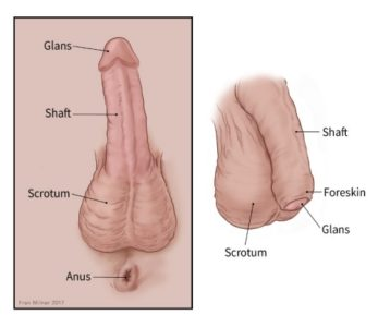 Illustration of Is It Safe To Leave The Foreskin Of The Penis Open To The Uncircumcised?