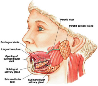 Illustration of The Injection In The Salivary Gland Causes A Small Hole?