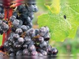 Can Consumption Of Grapes In Gout Sufferers?