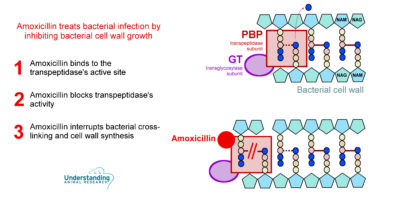 Illustration of Can Ampicillin Be Replaced By Amoxicillin?