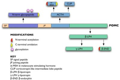 Illustration of How Aminoglutetimide Treats Hypercortisolism Due To ACTH Hypersecretion?