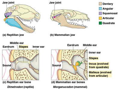 Illustration of Do You Use Stirrup In Your Upper Jaw, Lower Jaw?