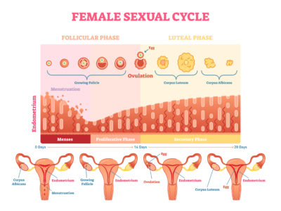 Illustration of The Cause Of The Menstrual Cycle Is Fast And Few?
