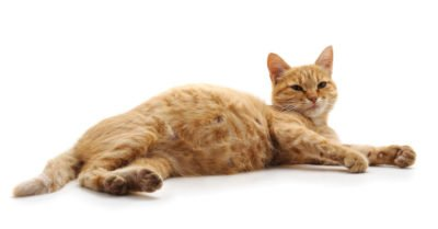 Illustration of How To Detect Cat Fur Inhaled During Pregnancy?