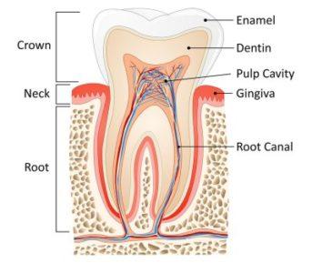 Illustration of Causes Of Pain In The Nerve Root Of A Tooth?
