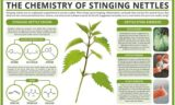 How To Deal With Wounds Caused By Stinging Nettle Leaves?