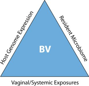Illustration of Life Cycle Of BV-causing Bacteria In Men?