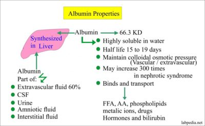 Illustration of Low Albumin Levels In The Body?