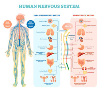 Illustration of Does Brain Injury Affect The Nervous System?