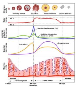 Illustration of Menstrual Cycle After The Use Of Contraception?