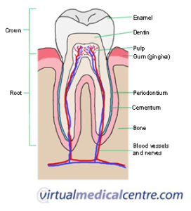 Illustration of Changes In Tooth Structure Anatomy?