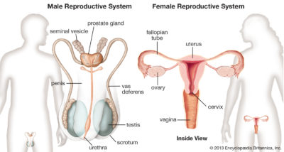 Illustration of Male Reproductive Glands And Female Reproductive Glands?