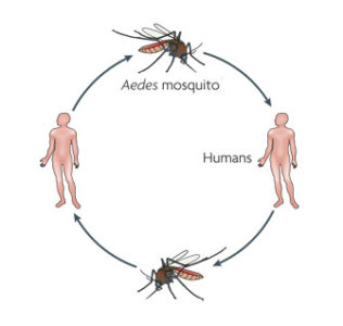 Illustration of Until When Does The Dengue Virus Survive In The Human Body?