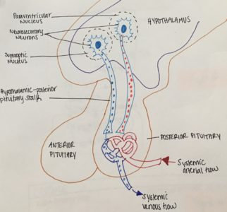 Illustration of Why Do People With Diabetes Insipidus Actually Need A Diuretic Drug?