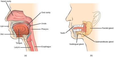Illustration of What Procedures Must Be Undertaken For Severe Cavity And Undigested Lower Teeth?