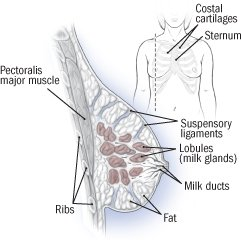 Illustration of Pain Or Injury In The Breast Due To The Habit Of Children Who Often Hold The Nipple When Breastfeeding?