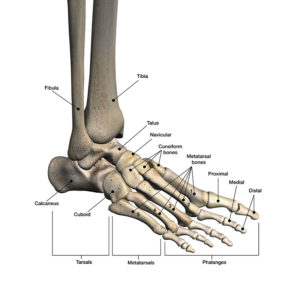Illustration of Why On The Ankle, The Bone Is Oddly Shaped?