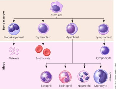 Illustration of Fever Up And Down Accompanied By High Leukocytes?