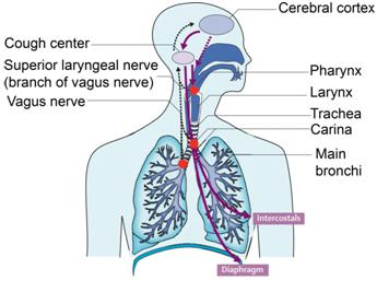 Illustration of Coughing Accompanied By Breath Sounds And Limp Body In Children Aged 1 Year?