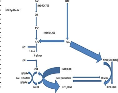 Illustration of The Mechanism Of Action Of The Drug N-acetylcysteine.?