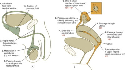 Illustration of If Semen Is Released Outside The Vagina And Held By A Partner, Can It Cause Pregnancy?
