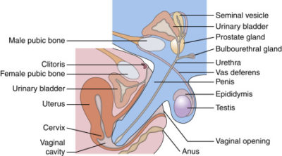 Illustration of Where Does The Husband's Genitalia Enter When Having Sexual Relations With His Wife?