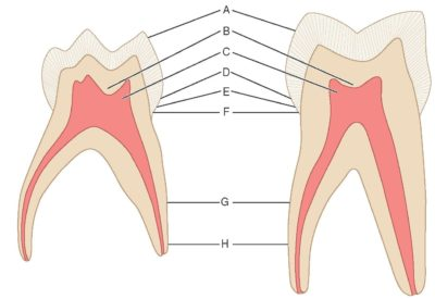 Illustration of First And Second Lower Molars But Not Hollow?