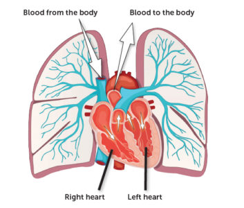 Illustration of Lungs And Heart?
