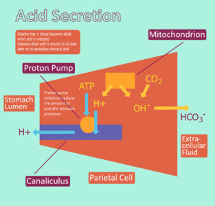 Illustration of How Does Stomach Acid Form?