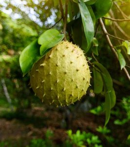 Illustration of Can I Drink Soursop Leaf Boiled Water After Surgery To Remove The Tumor?