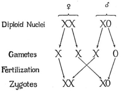 Illustration of About Chromosomes In Sex Determinants?